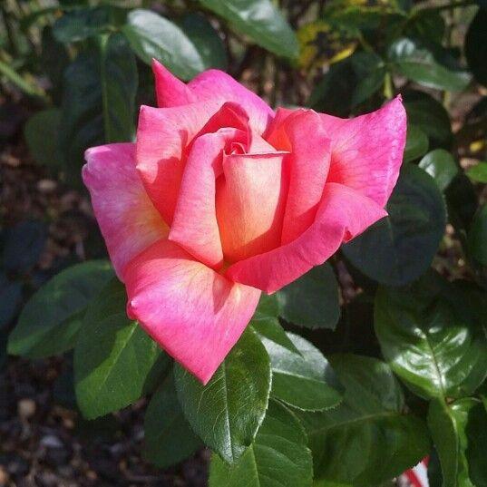 Pink Rose in Milwaukie, Oregon.