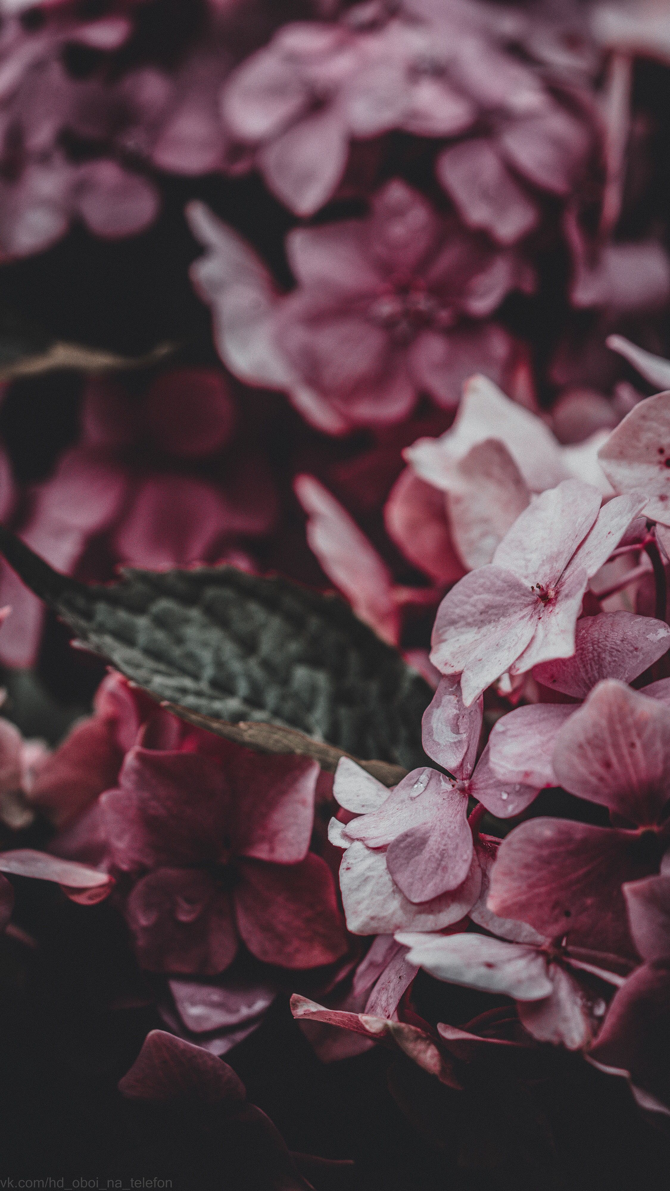 Обои гортензия, цветы, комната. Цветы foto 10