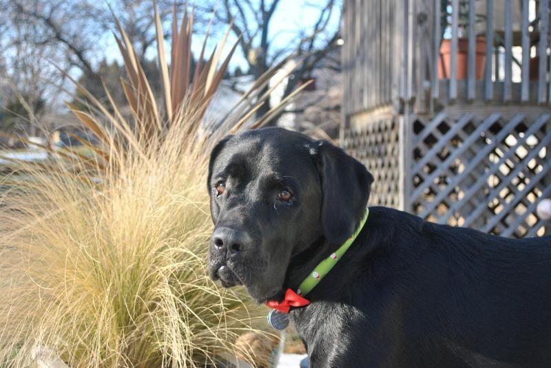 Adopt Jackson On Petfinder Labrador Dog Labrador Retriever Labrador Retriever Dog