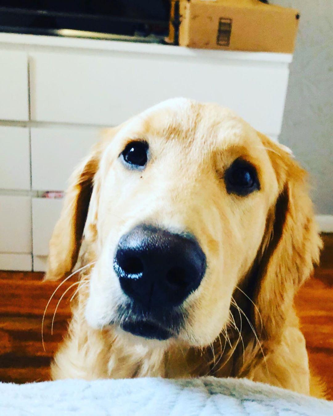 Puppy Goldenretriever Vincent Eldiariodevincent 614 Columbus Pet Doggy Doggo Petlovers Happiness Instagram Pets Puppies Funny Animals