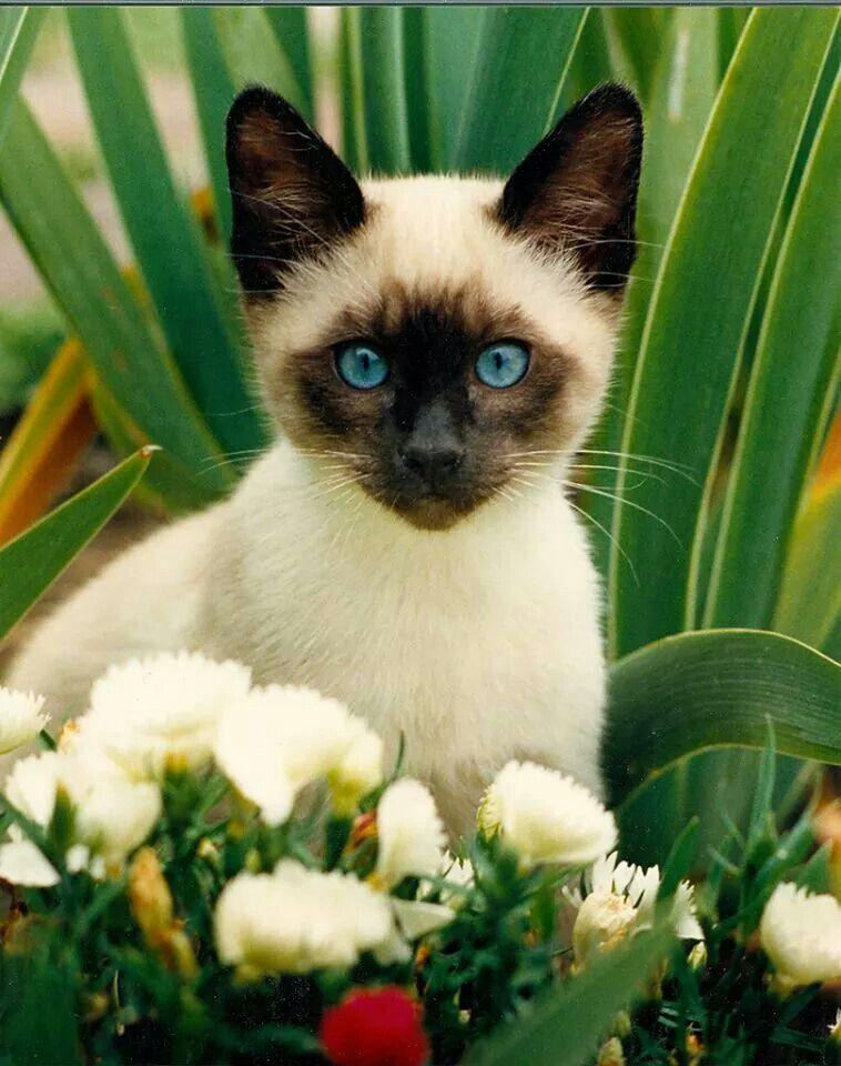 Saimese Cat Cute Cats Pretty Cats Beautiful Cats