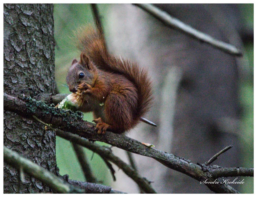 A squirrel enjoy his conifer cone squirrel forest