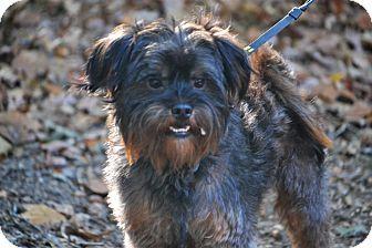 10 31 16 Bedminster Nj Cairn Terrier Shih Tzu Mix Meet Jax A