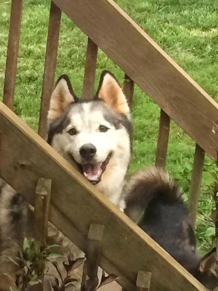 Dogs Can Have Ice Cream Too Adoptable Husky Otw Dog Adoption