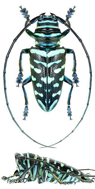 Sternotomis viridescens (Westwood, 1845) F Cerambycidae