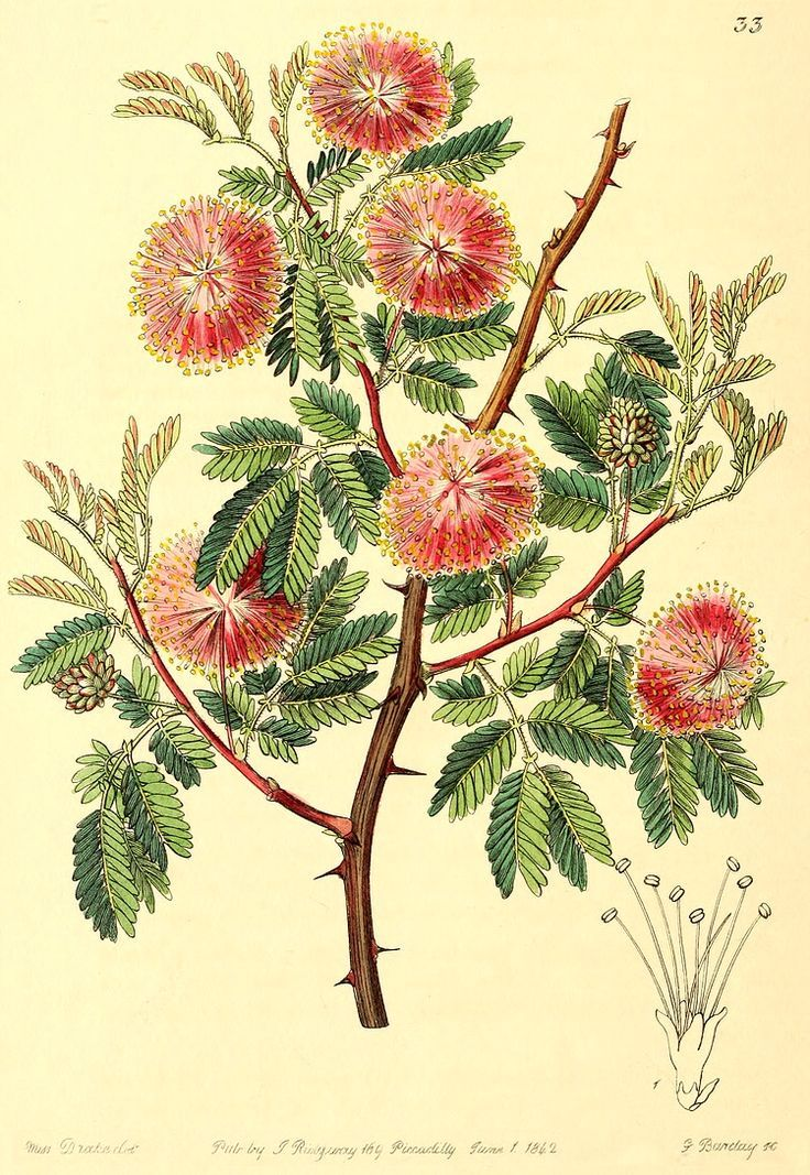 Mimosa Tree Like The Representation Of The Flower Here Don T Want Thorns Flower Illustration Botanical Illustration Mimosa Tree