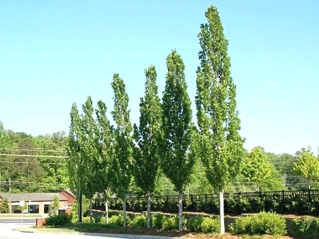 Tall Narrow Trees For Privacy Small Tree Taobaonewsinfo Columnar