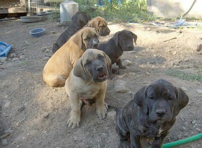 Mastiff Great Dane Mix With Images Great Dane Mastiff Mastiff Puppies English Mastiff Puppies