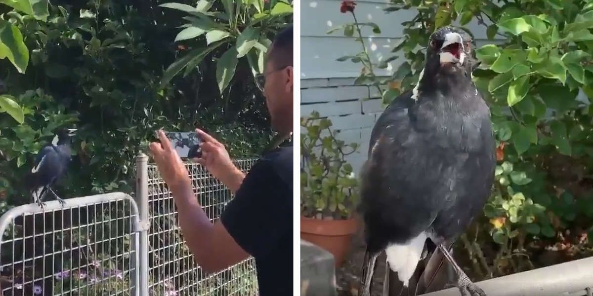 Australian Bird Caught Copying Sounds Of Fire Engines In 2020 Australian Birds Fire Engine Animal Rescue