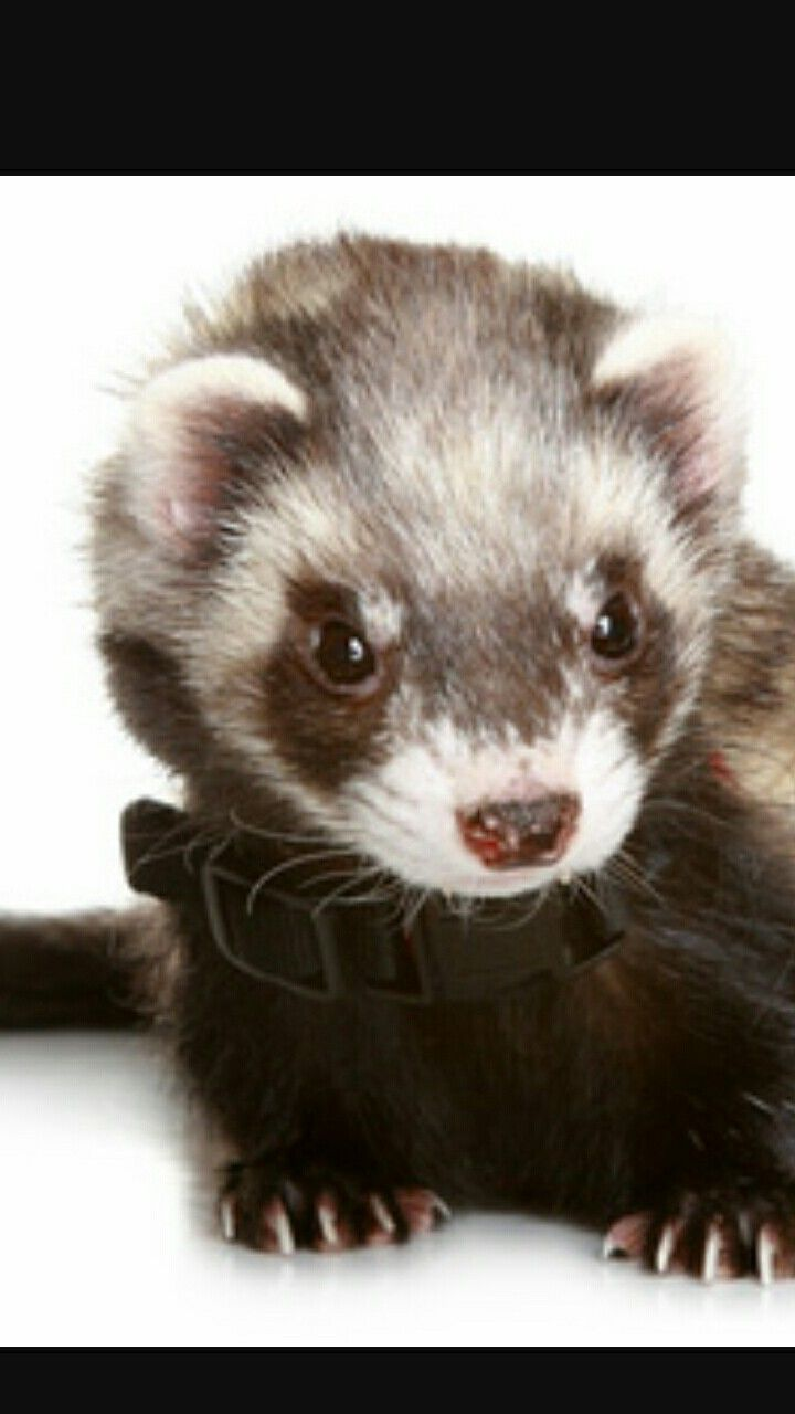 Ferrets Could Be Cute Cute Ferrets Ferret Pet Ferret
