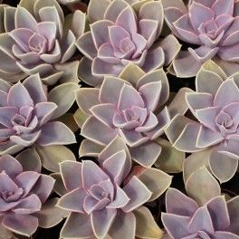 Echeveria Pearl Von Nurnberg Plantes Grasses Fleurs Et