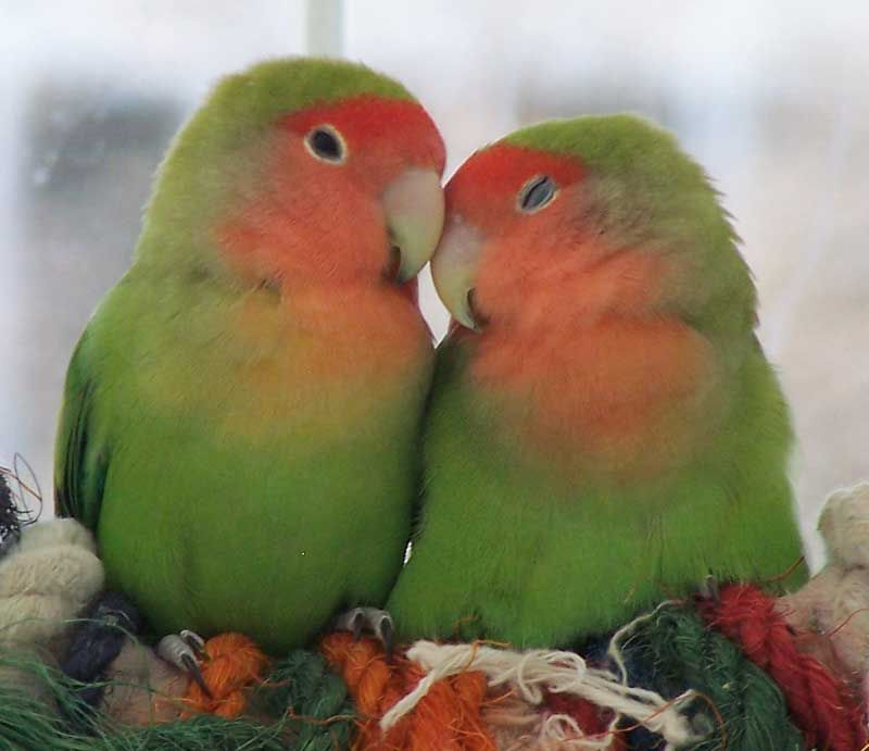 Lovebirds, I like them but they don't do very well when ...