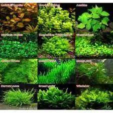 Plantas acuaticas para acuarios de agua dulce buscar con for Peces de agua dulce para peceras