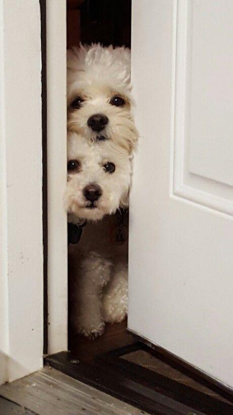 Cheiro de Bicho: Cães da raça beagle são brincalhões e