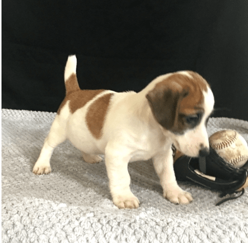 Jack Russell Puppies Qualities Jack Russell Terrier Puppies Jack Russell Jack Russell Puppies