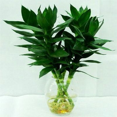 Hydroponic Bamboo Plants Lucky Bamboo Lucky Bamboo Guanyin