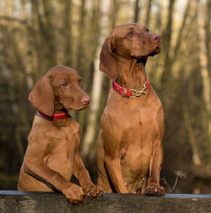 Free Image On Pixabay Dog Viszla Close Up Dog Training Dog Training Obedience Dog Behavior