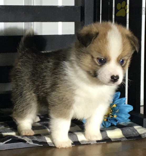 Pomsky Charming Pinterestpuppies Puppiesofpinterest Buckeyepuppies Puppy Puppies Pups Pup Fun In 2020 Baby Animals Funny Pomsky Puppies Cute Dogs And Puppies