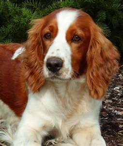 Welsh Springer Spaniel Welsh Springer Spaniel Spaniel Puppies Dogs