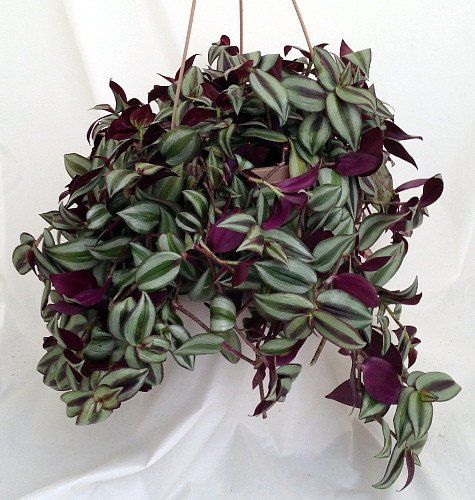 best low light house plants - Flowering House Plants Purple