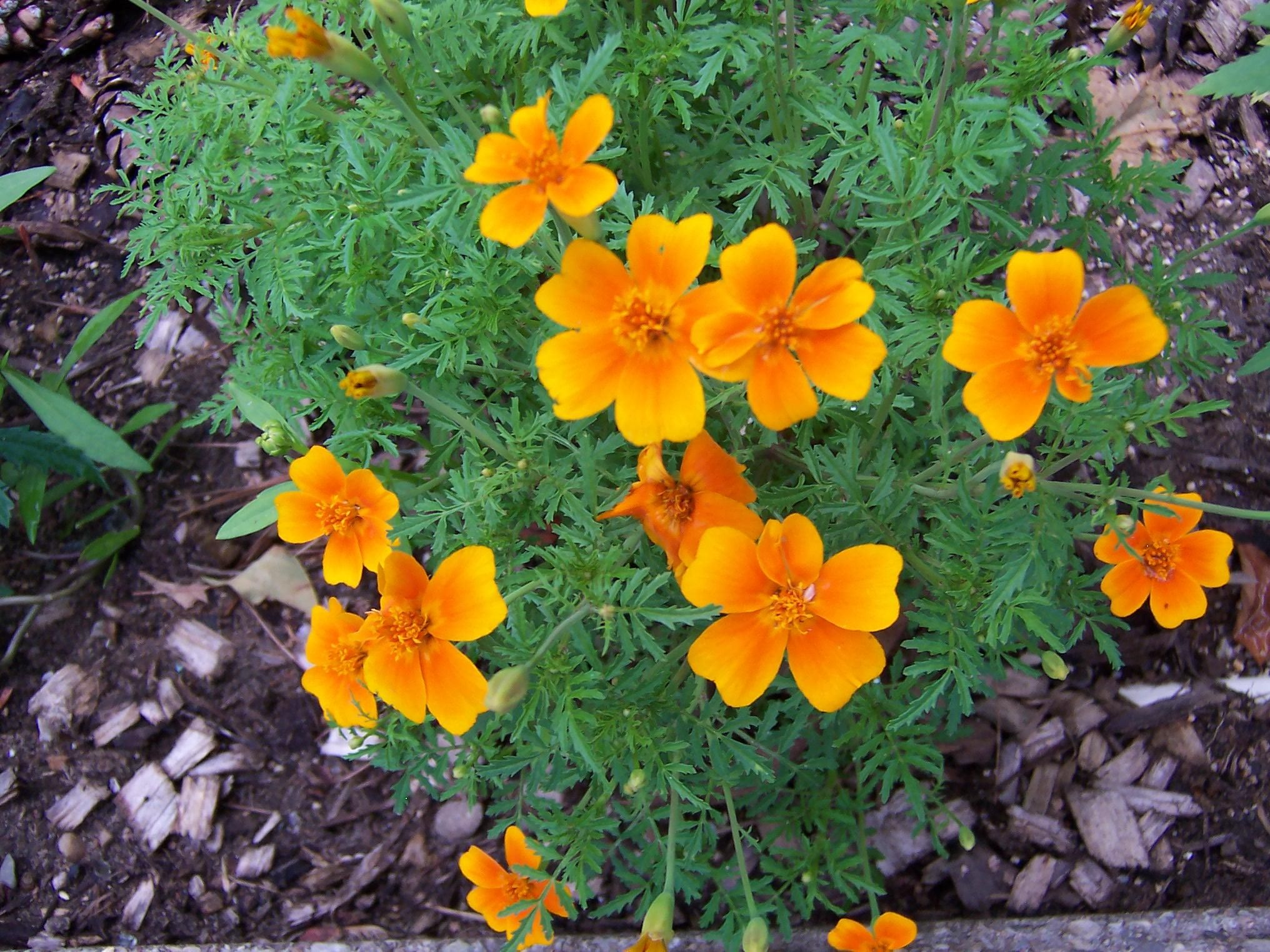 Marigolds/ATTRACTS:Hummingbirds and Butterflies. | Hummingbirds ...