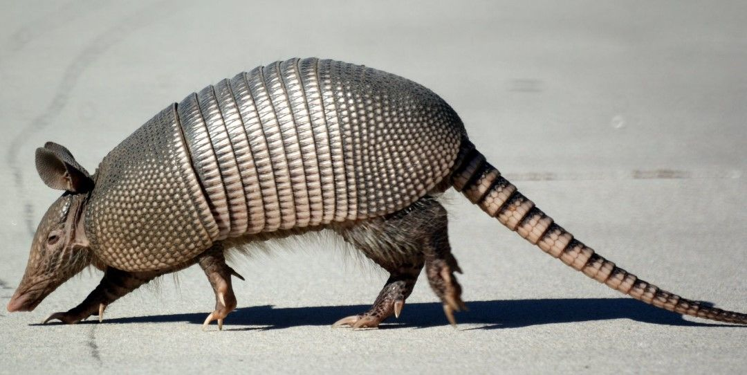 10 Fascinating Animals That Start With The Letter A Animals Armadillo Animals Wild