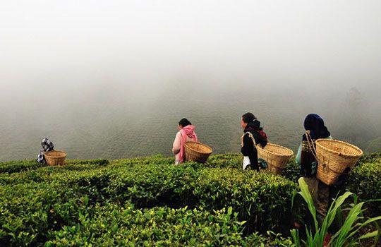 f2721c59f0e8ed0c734d296cd2388f29 - List Of Tea Gardens In Darjeeling