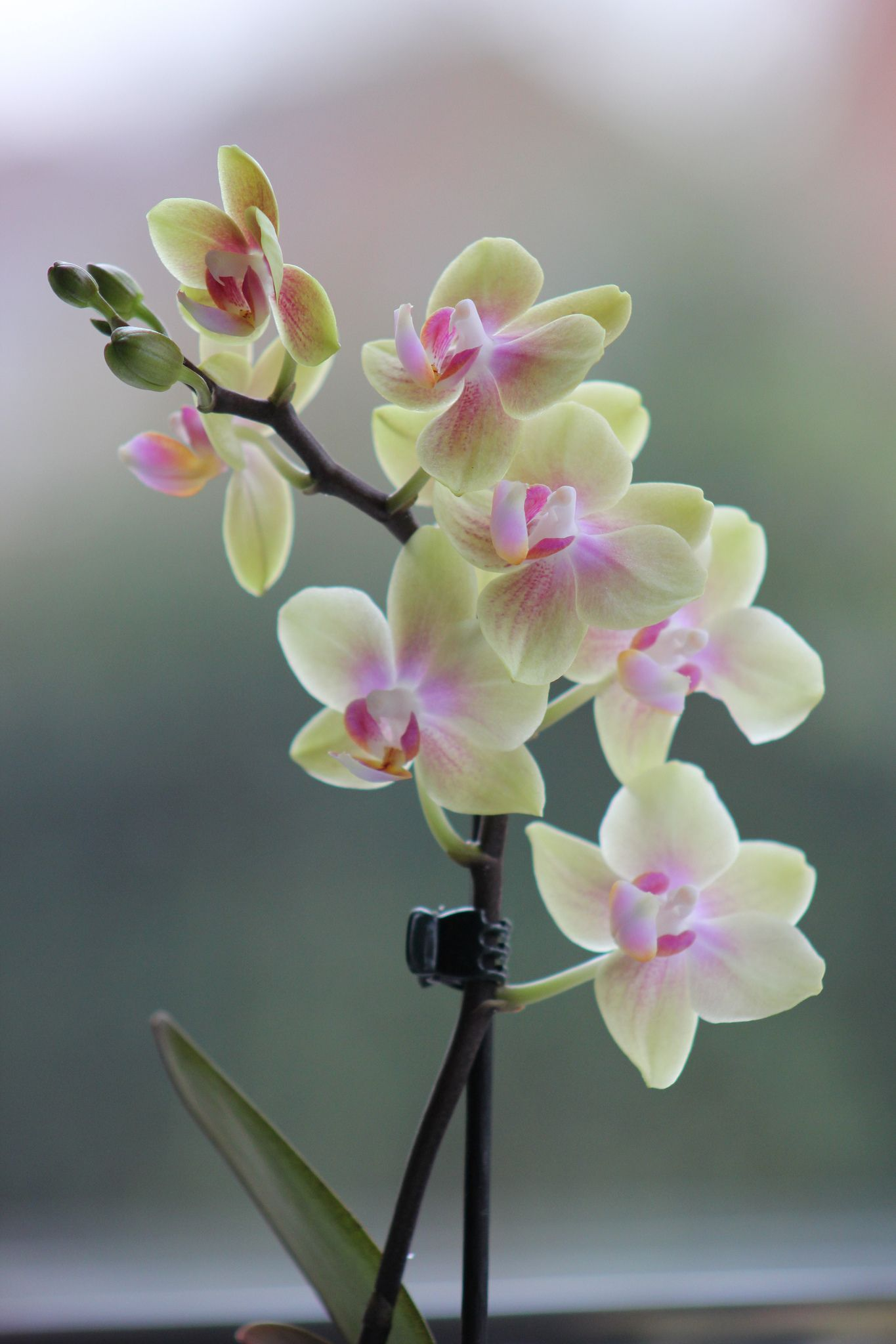 pink and pale green orchid flores preciosas flores pinterest