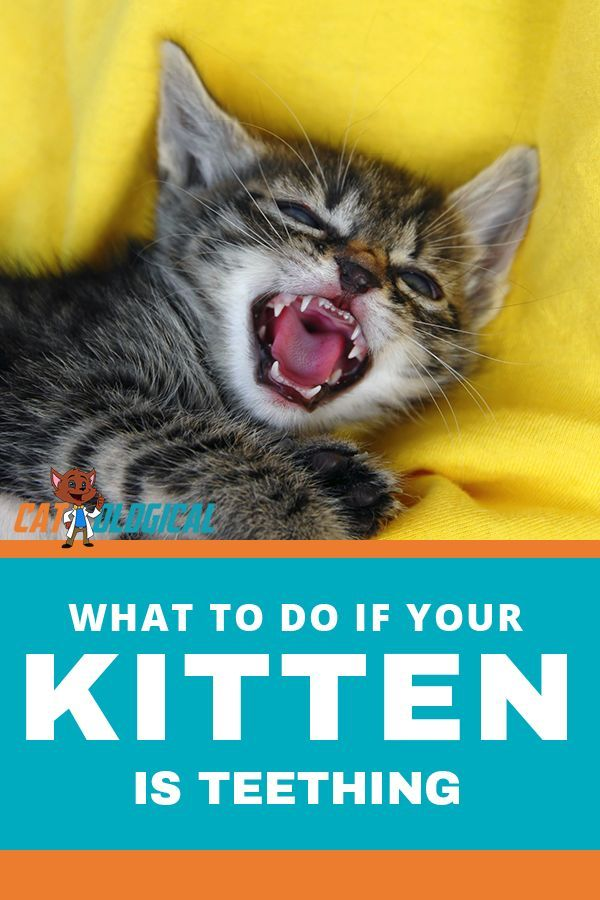 Kitten Teething When Do They Start And Stop, And How To