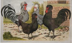 """Jean Bungartz """"Chickens"""" Chromolithograph 1886   Antique prints ..."""