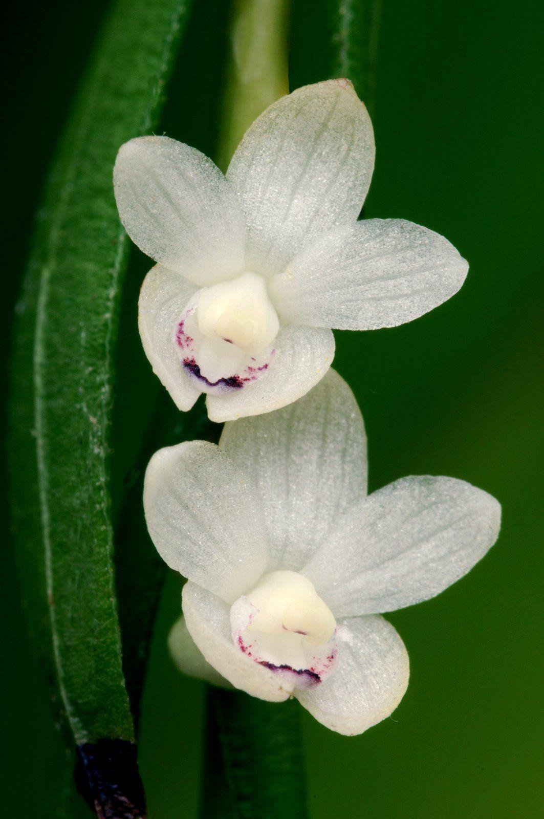 Dendrobium decumbens orchids flores pinterest orchid flowers