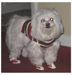 Beautiful Maltese, Caesar wearing red fur dog boots