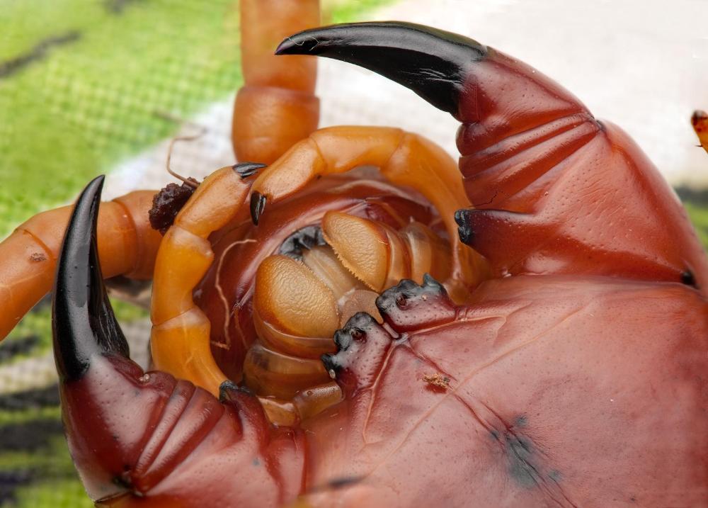 Insect Microbe おしゃれまとめの人気アイデア Pinterest Pochicrocuta ムカデ 節足動物 クモ