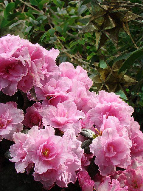 Pink Azeleas Azalea Flower Pink Azaleas Beautiful Flowers