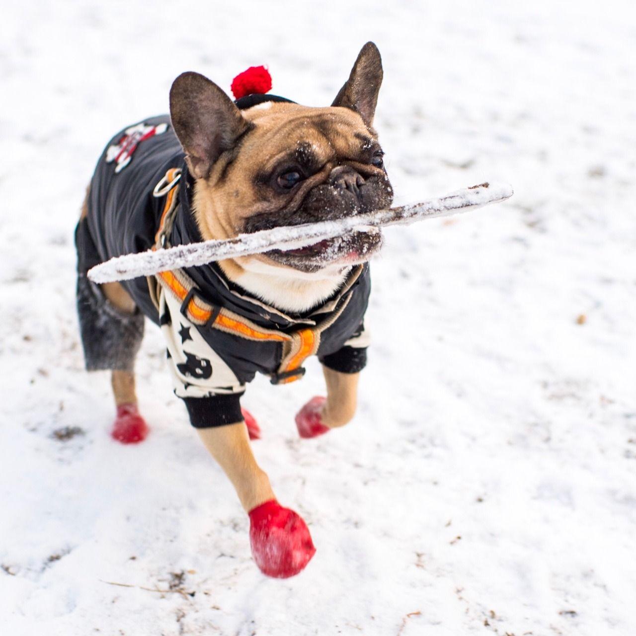 Tuppee, French Bulldog (9 y/o), Washington Square Park