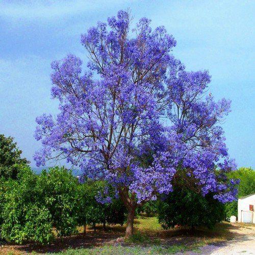 Blue Jacaranda Tree Seeds Jacaranda Mimosifolia 30 Seeds Jacaranda Tree Tree Seeds Flowering Trees
