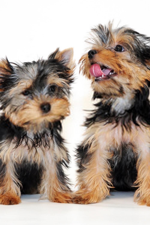 Yorkshire Terrier Puppies Terrier Puppies In 2020 Yorkshire Terrier Puppies Terrier Puppies Yorkshire Terrier Dog