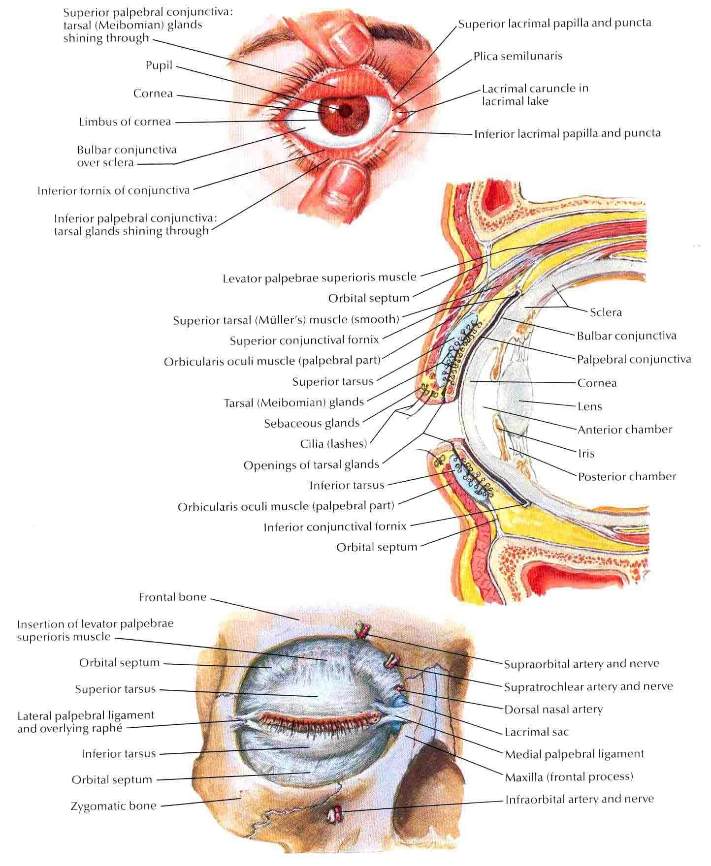 orbital rim - Google 검색 | forensic anatomy references-face ...
