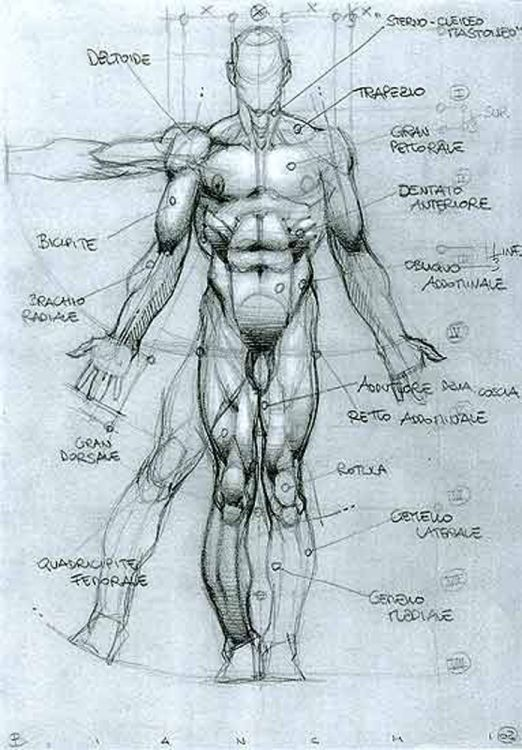 Character Design Collection: Male Anatomy | Anatomy | Pinterest ...