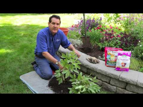 How To Transplant Peonies Youtube Growing Peonies Planting Peonies Peonies
