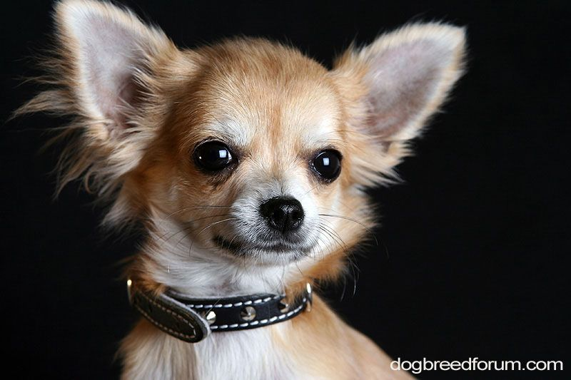6 different types of chihuahuas dog mixes breeds with pictures dog different types of chihuahua voltagebd Images