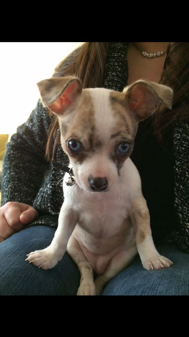 Beautiful Blue Eyes Chihuahua Love Cute Animals Cutest Dog Ever