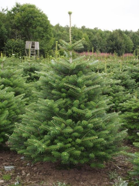 Korean Fir Christmas Trees Are Now Available From The Christmas Tree Farm Christmas Tree Farm Real Christmas Tree Tree Farms