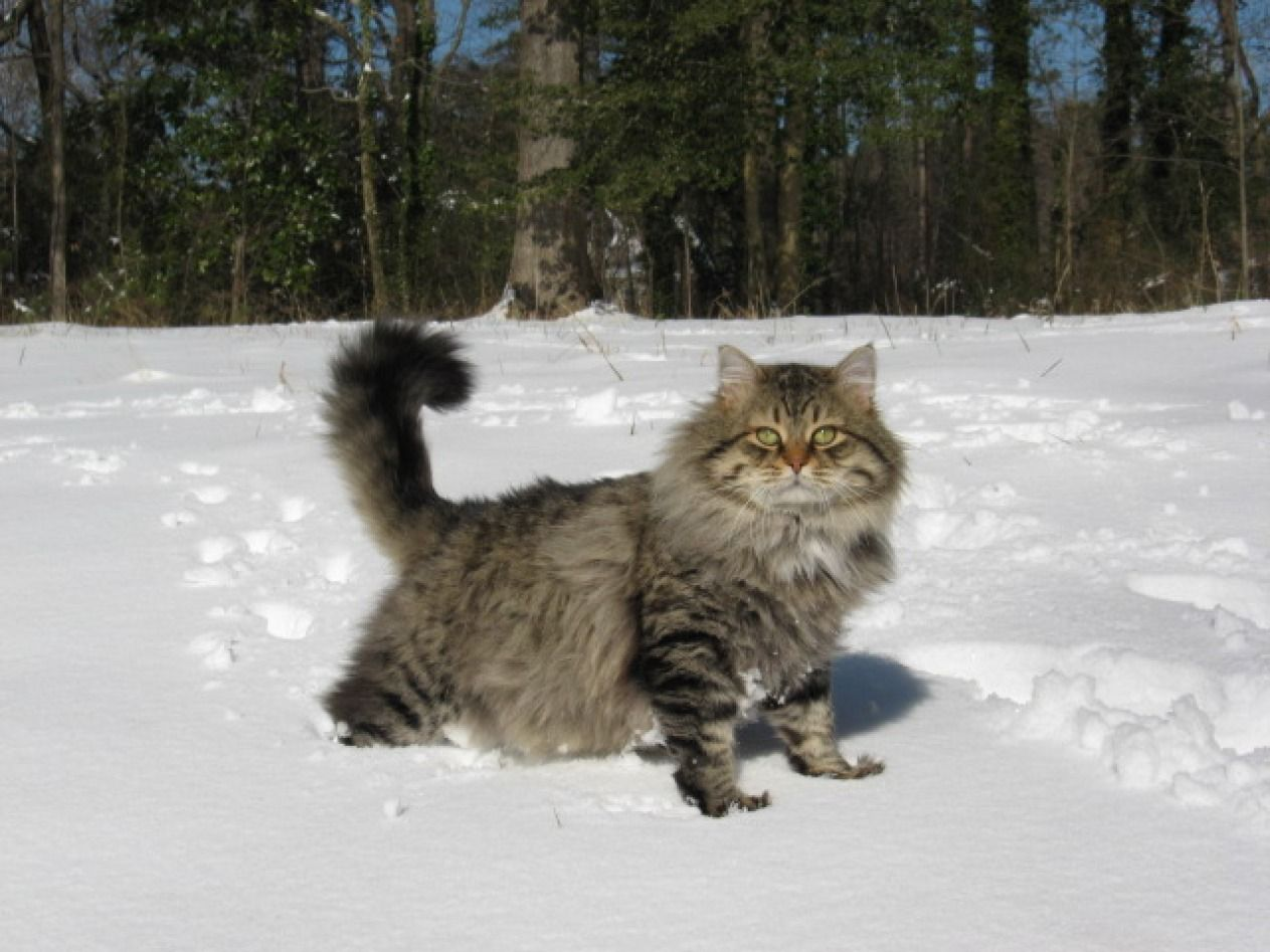 Siberian Breed Siberian Cat Siberian Forest Cat Forest Cat