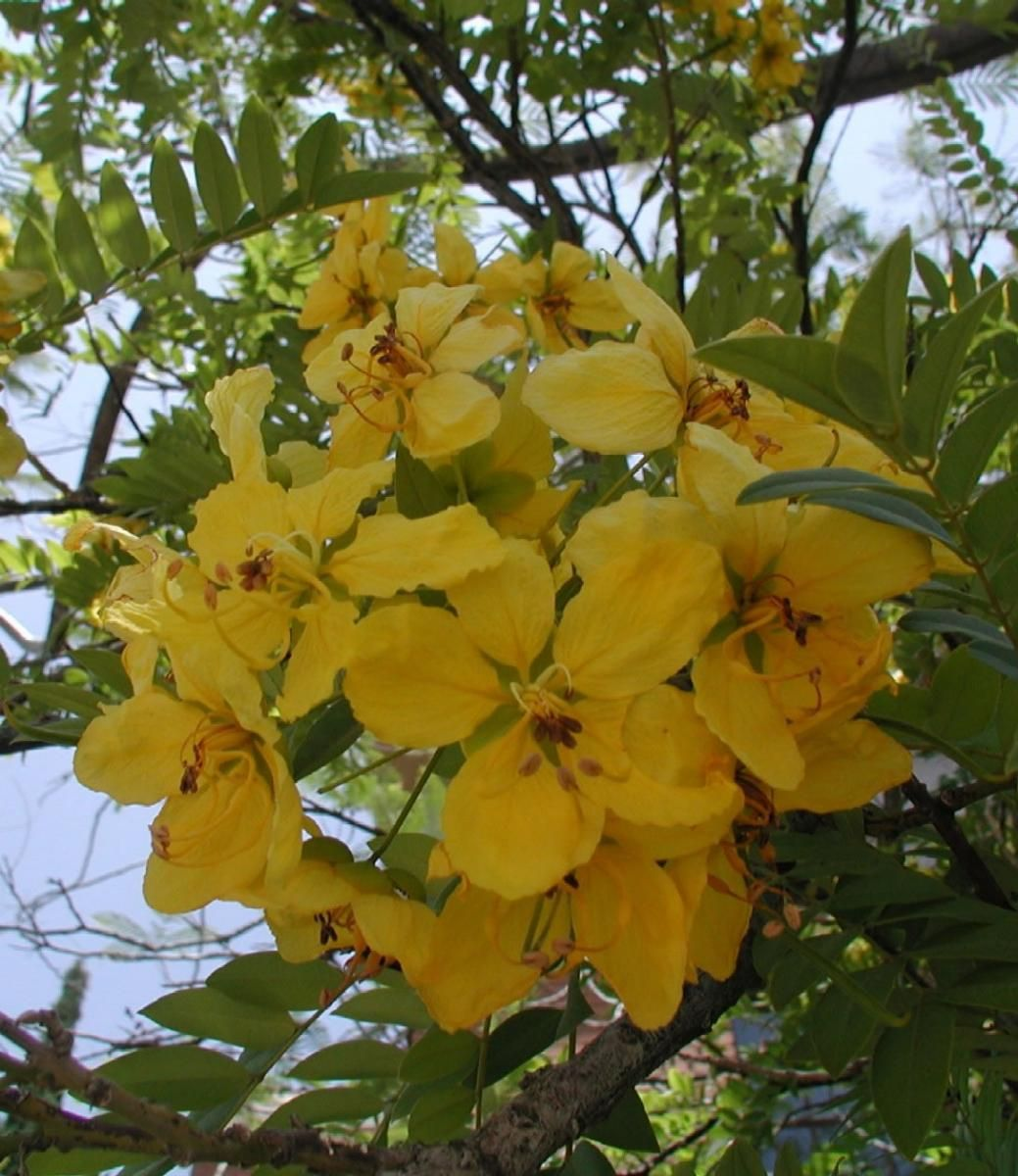 Tropical tree with yellow flowers stock flower images pinterest tropical tree with yellow flowers mightylinksfo