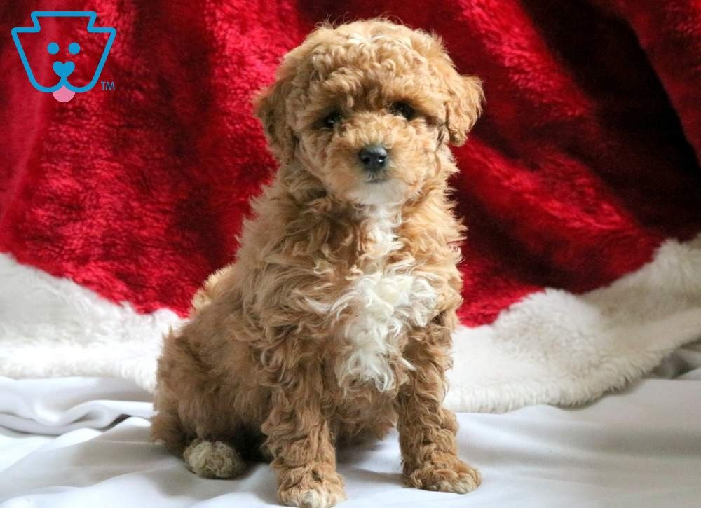Lola Poodle Mini Puppy For Sale Keystone Puppies Mini Puppies Mini Poodles Puppies For Sale