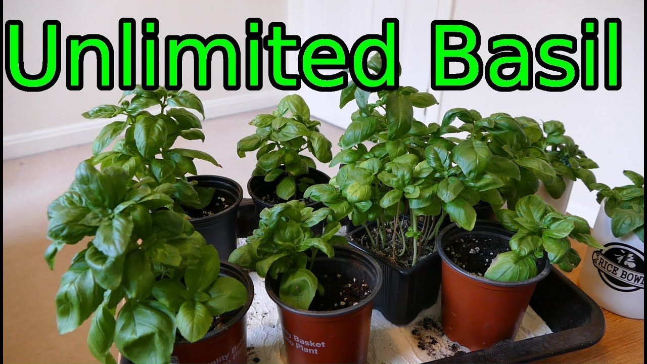 Basil how to grow more than you can eat gardening garden