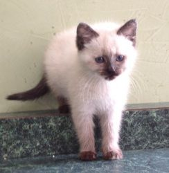 Seal Point Is An Adoptable Siamese Cat In East Hartford Ct This Baby Is A Seal Point Siamese And As She Gets Old Her Mar Siamese Cats Cats Seal Point Siamese