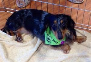 Adopt Darla On Silver Dapple Dachshund Adoptable Dachshund Dog