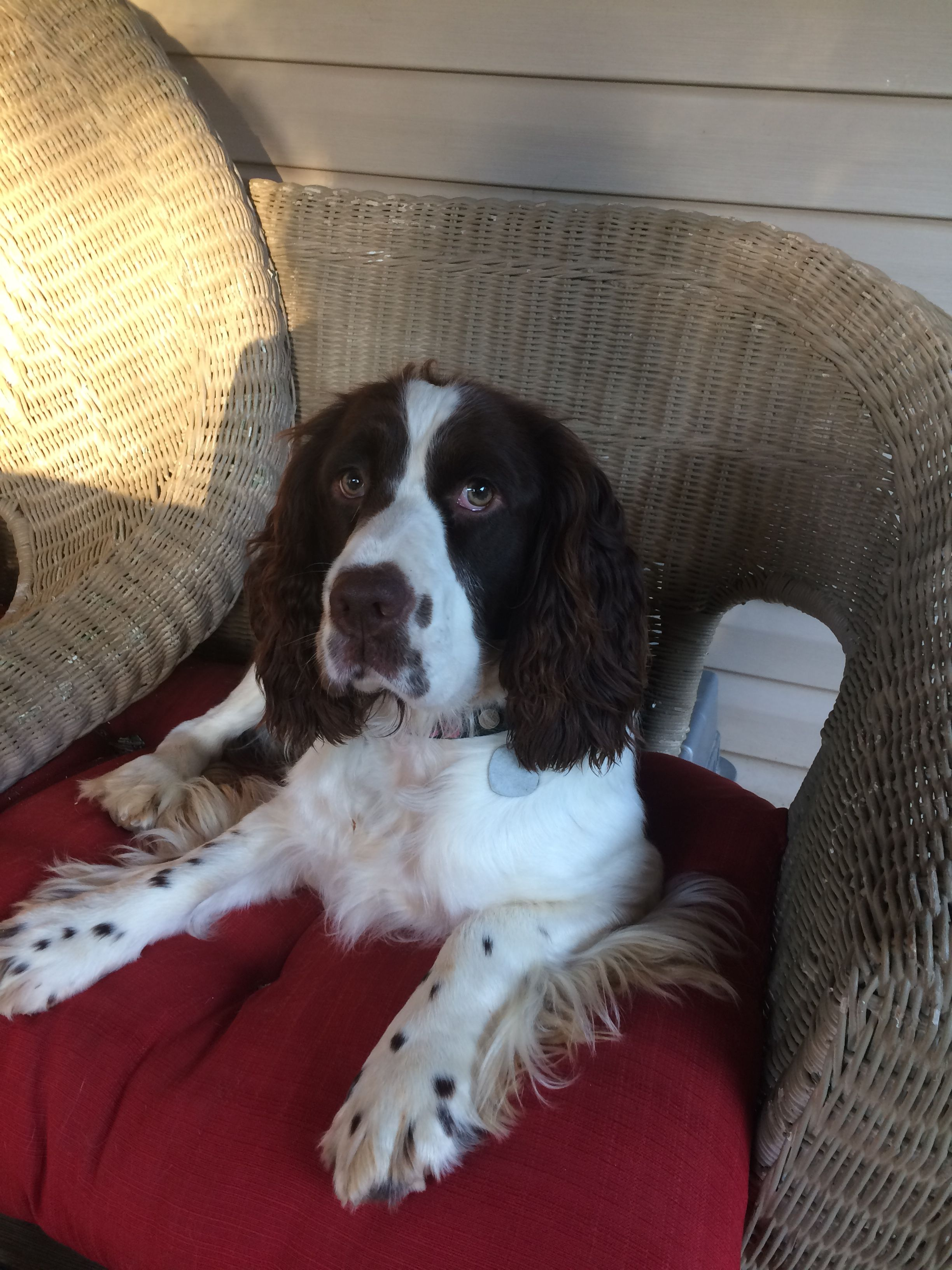 Springer Spaniel English Springer Spaniel Springer Spaniel Puppies Spaniel